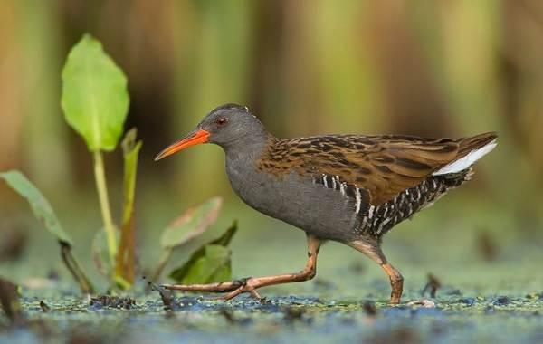 Водоплавающие-птицы-Описание-названия-и-особенности-водоплавающих-птиц-127