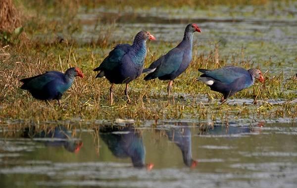 Водоплавающие-птицы-Описание-названия-и-особенности-водоплавающих-птиц-128