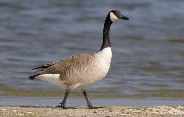 Водоплавающие-птицы-Описание-названия-и-особенности-водоплавающих-птиц-13