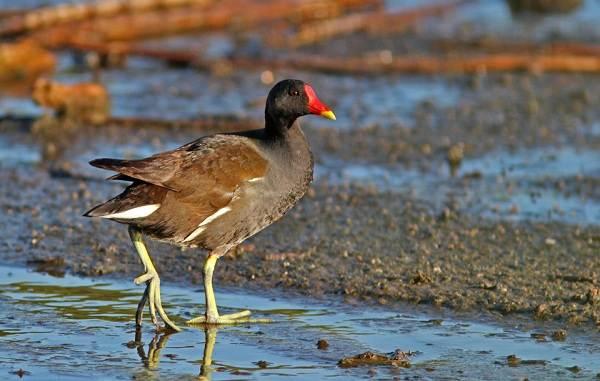 Водоплавающие-птицы-Описание-названия-и-особенности-водоплавающих-птиц-131
