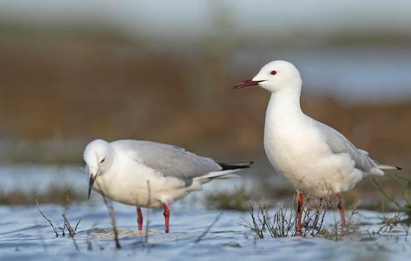 Водоплавающие-птицы-Описание-названия-и-особенности-водоплавающих-птиц-133