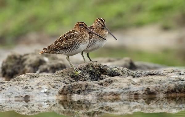 Водоплавающие-птицы-Описание-названия-и-особенности-водоплавающих-птиц-135
