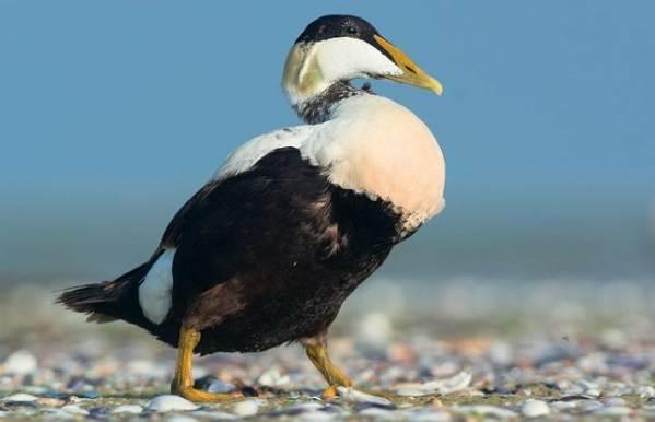 Водоплавающие-птицы-Описание-названия-и-особенности-водоплавающих-птиц-15