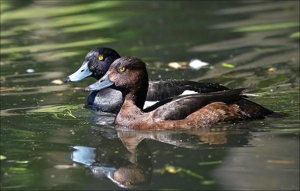 Водоплавающие-птицы-Описание-названия-и-особенности-водоплавающих-птиц-150