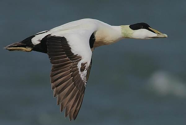 Водоплавающие-птицы-Описание-названия-и-особенности-водоплавающих-птиц-16