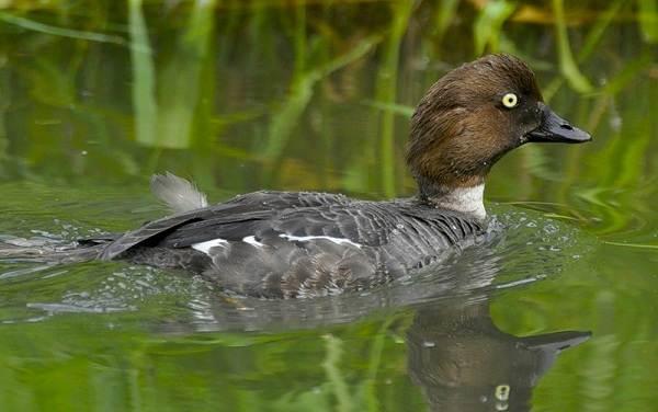 Водоплавающие-птицы-Описание-названия-и-особенности-водоплавающих-птиц-3