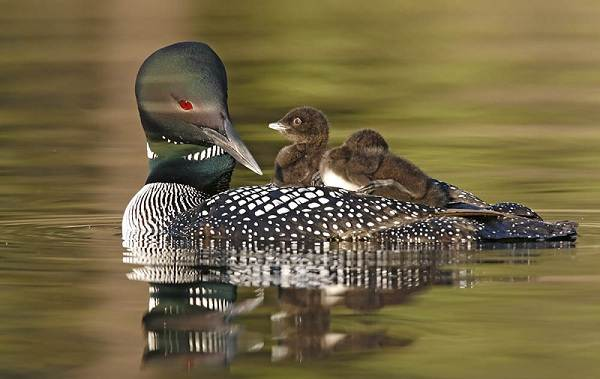 Водоплавающие-птицы-Описание-названия-и-особенности-водоплавающих-птиц-31
