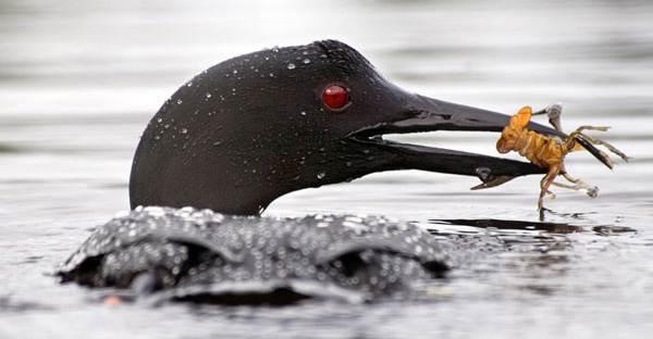 Водоплавающие-птицы-Описание-названия-и-особенности-водоплавающих-птиц-32