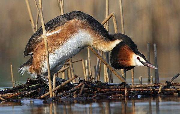 Водоплавающие-птицы-Описание-названия-и-особенности-водоплавающих-птиц-33