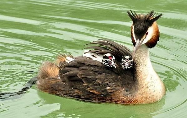 Водоплавающие-птицы-Описание-названия-и-особенности-водоплавающих-птиц-35