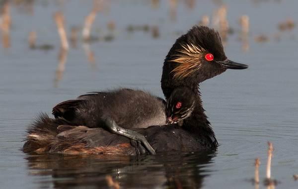 Водоплавающие-птицы-Описание-названия-и-особенности-водоплавающих-птиц-36