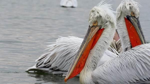 Водоплавающие-птицы-Описание-названия-и-особенности-водоплавающих-птиц-43