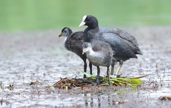 Водоплавающие-птицы-Описание-названия-и-особенности-водоплавающих-птиц-60