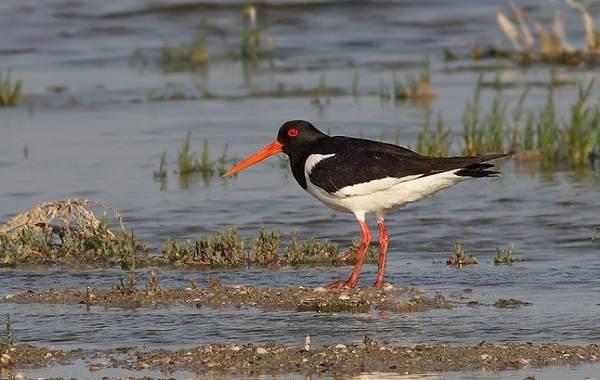 Водоплавающие-птицы-Описание-названия-и-особенности-водоплавающих-птиц-66