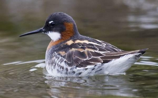 Водоплавающие-птицы-Описание-названия-и-особенности-водоплавающих-птиц-69