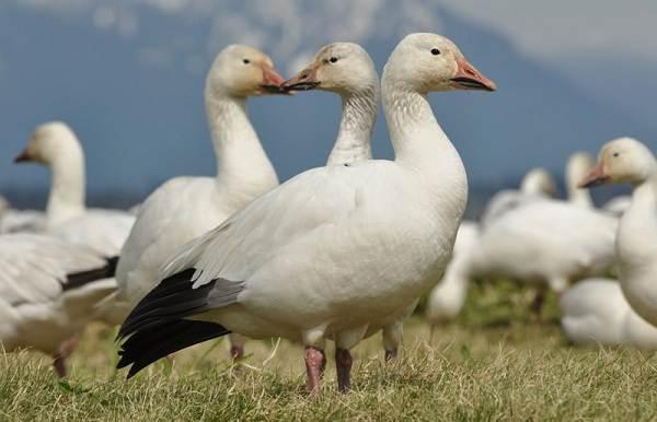 Водоплавающие-птицы-Описание-названия-и-особенности-водоплавающих-птиц-7
