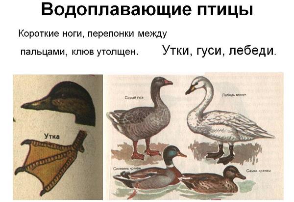 Водоплавающие-птицы-Описание-названия-и-особенности-водоплавающих-птиц-72