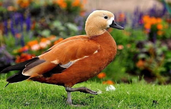 Водоплавающие-птицы-Описание-названия-и-особенности-водоплавающих-птиц-9-1