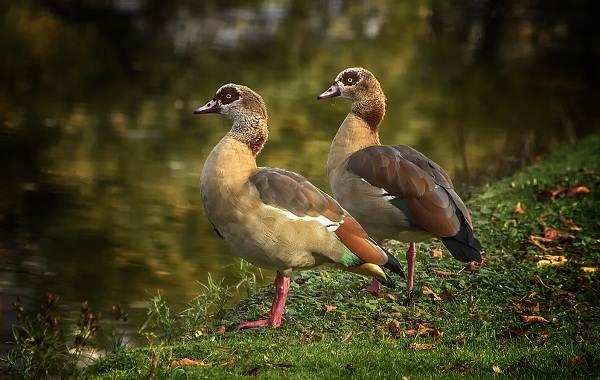 Водоплавающие-птицы-Описание-названия-и-особенности-водоплавающих-птиц-90