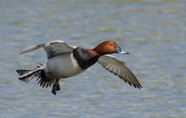 Водоплавающие-птицы-Описание-названия-и-особенности-водоплавающих-птиц-93
