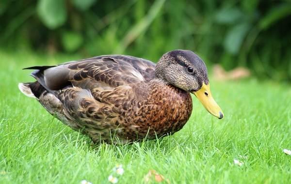 Водоплавающие-птицы-Описание-названия-и-особенности-водоплавающих-птиц-95