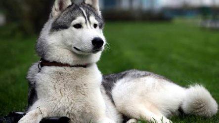 Восточно сибирская лайка собака. Описание, особенности, уход и цена восточно сибирской лайки
