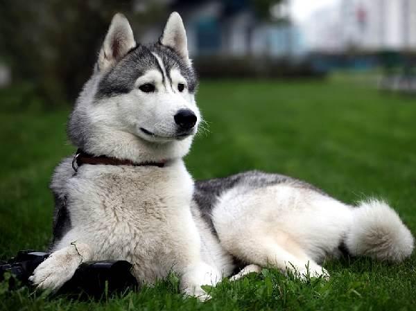 Восточно-сибирская-лайка-собака-Описание-особенности-уход-и-цена-восточно-сибирской-лайки-1