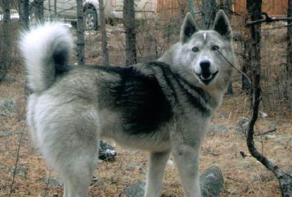 Восточно-сибирская-лайка-собака-Описание-особенности-уход-и-цена-восточно-сибирской-лайки-10