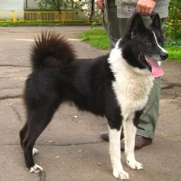 Восточно-сибирская-лайка-собака-Описание-особенности-уход-и-цена-восточно-сибирской-лайки-3