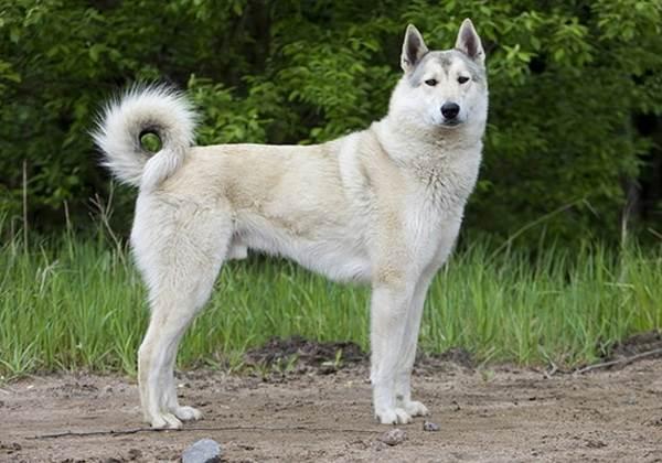 Восточно-сибирская-лайка-собака-Описание-особенности-уход-и-цена-восточно-сибирской-лайки-5