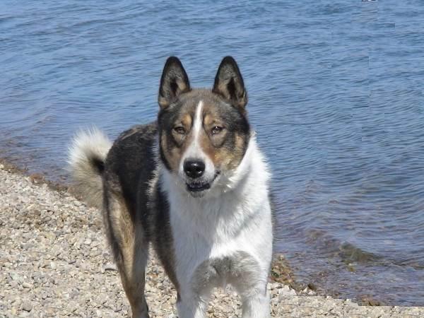 Восточно-сибирская-лайка-собака-Описание-особенности-уход-и-цена-восточно-сибирской-лайки-7