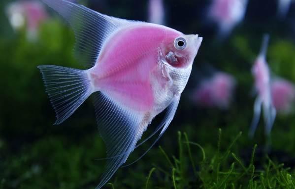 Красивые аквариумные рыбки (30 фото)