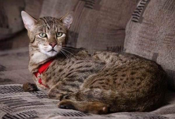 Красивые-породы-кошек-с-названиями-30-фото-12