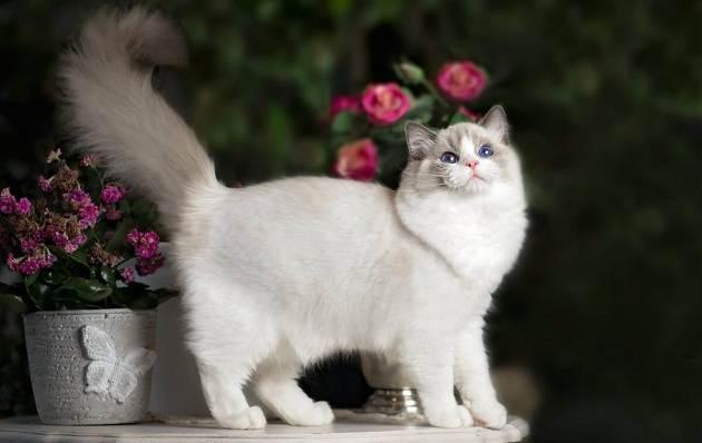 Красивые-породы-кошек-с-названиями-30-фото-14