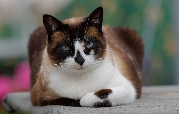 Красивые-породы-кошек-с-названиями-30-фото-18