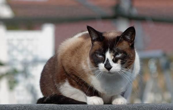 Красивые-породы-кошек-с-названиями-30-фото-19