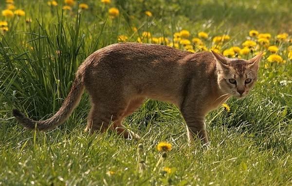 Красивые-породы-кошек-с-названиями-30-фото-22