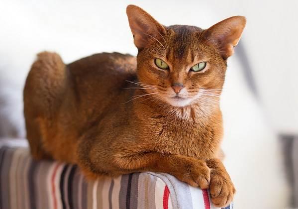 Красивые-породы-кошек-с-названиями-30-фото-24