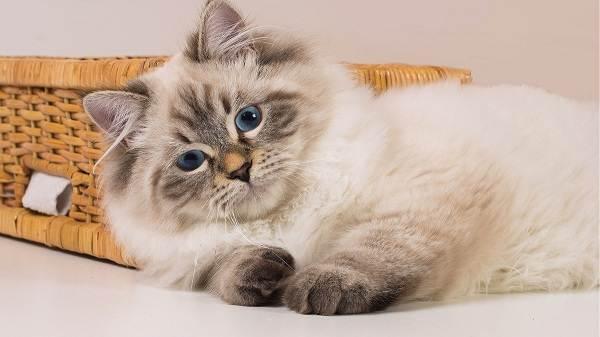 Красивые-породы-кошек-с-названиями-30-фото-27
