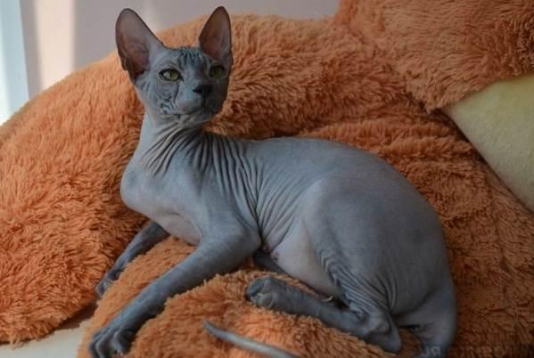Красивые-породы-кошек-с-названиями-30-фото-28