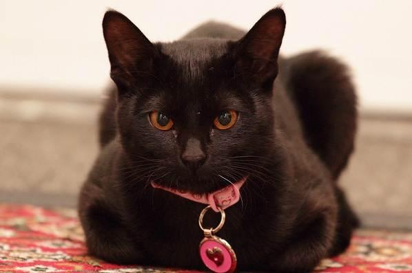 Красивые-породы-кошек-с-названиями-30-фото-31