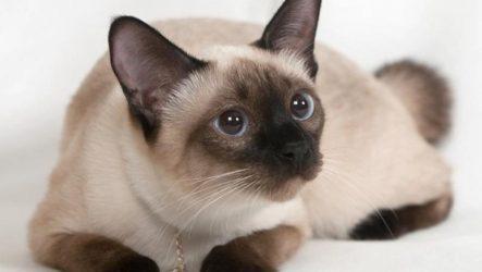 Красивые породы кошек с названиями (30 фото)