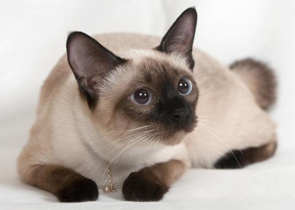 Красивые-породы-кошек-с-названиями-30-фото-34