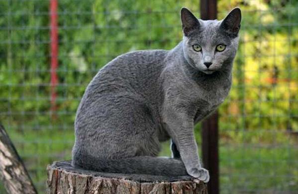 Красивые-породы-кошек-с-названиями-30-фото-4