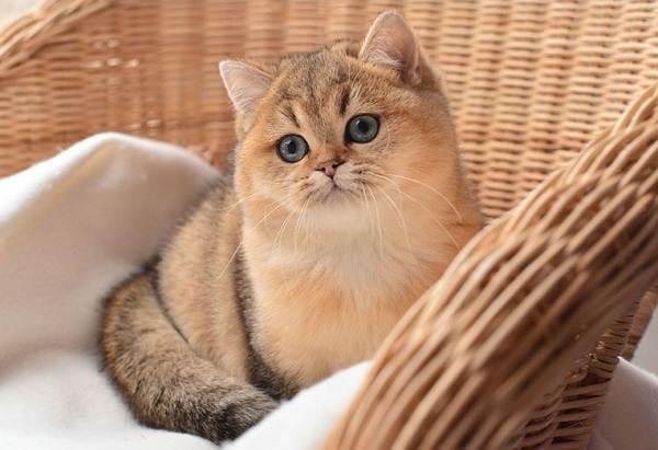 Красивые-породы-кошек-с-названиями-30-фото-7