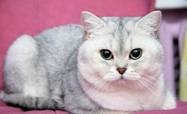 Красивые-породы-кошек-с-названиями-30-фото-8