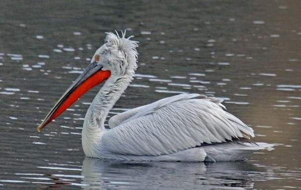 Птицы-Сибири-Описания-названия-и-особенности-птиц-Сибири-26