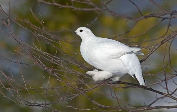 Птицы-Сибири-Описания-названия-и-особенности-птиц-Сибири-80