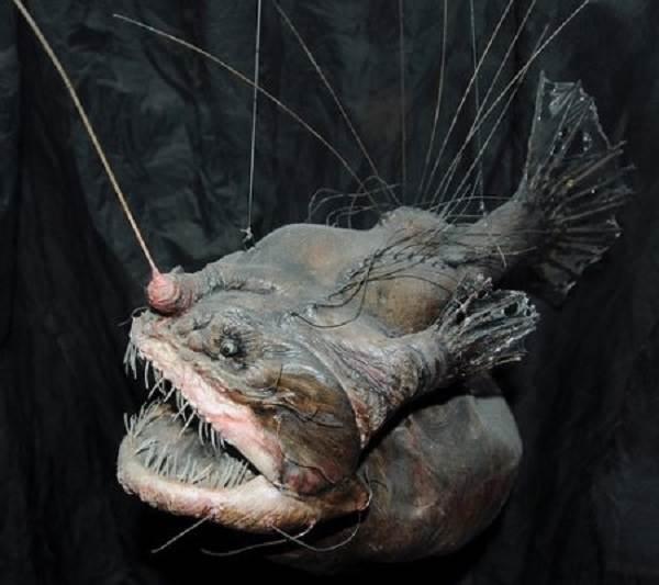 Рыба-дьявол-Описание-особенности-виды-и-среда-обитания-рыбы-дьявол-2