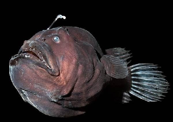 Рыба-дьявол-Описание-особенности-виды-и-среда-обитания-рыбы-дьявол-3